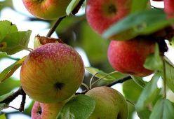 Любопитни факти за ябълките